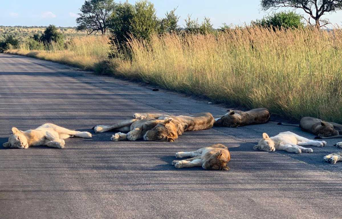 Lions Nap On Road During Quarantine In South Africa