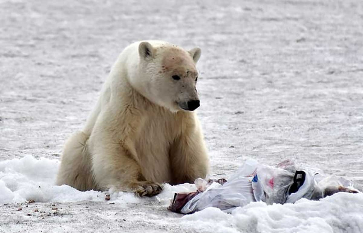 Zoologists have caught a polar bear which strayed from the Arctic and wandered into an industrial city 950 miles to the south