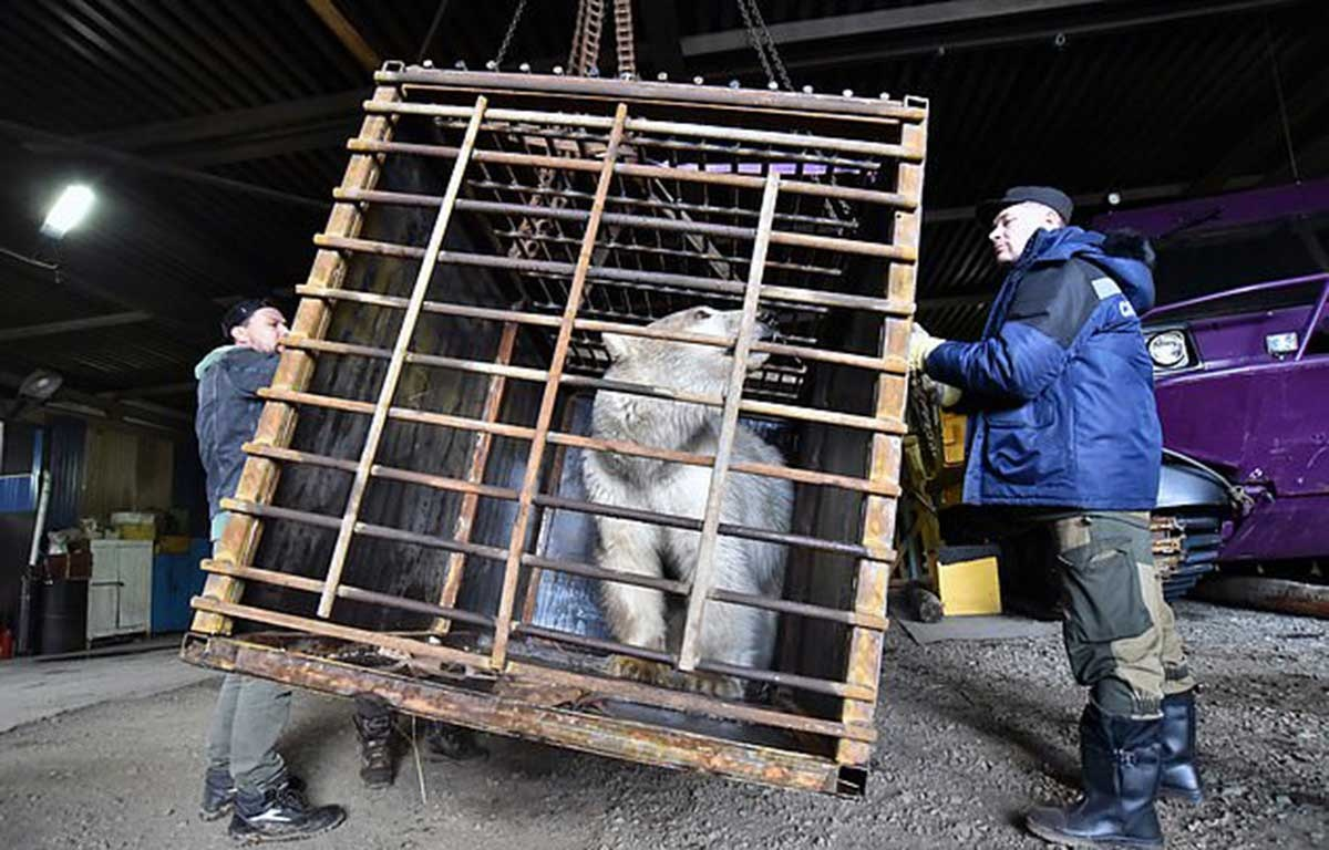 The female polar bear has been captured and is being kept at a local rescue centre before it is delivered to a zoo in Krasnoyarsk