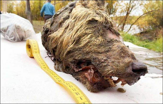 A giant Pleistocene wolf discovered, after 40,000 years, in Siberia