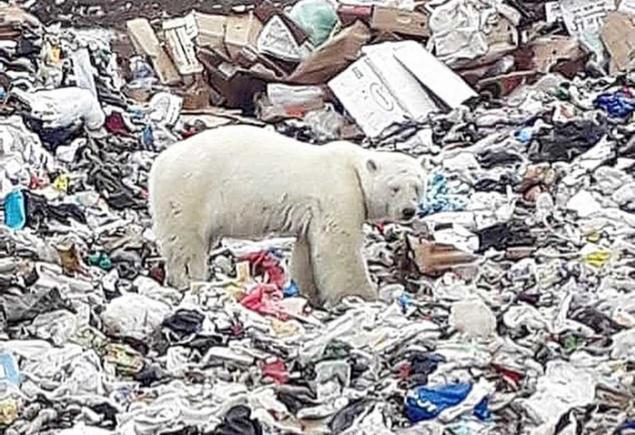 Lost polar bear that ended up living on a rubbish dump after straying 950 miles into a Russian town is captured and taken to rescue centre