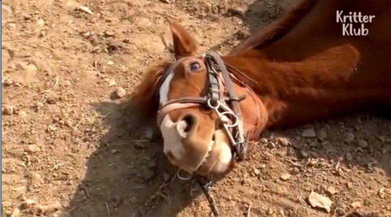Dramatic horse pretends to be dead whenever someone try to ride him - video