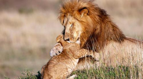 The story of a pure moment of grace: lion hugs its cub