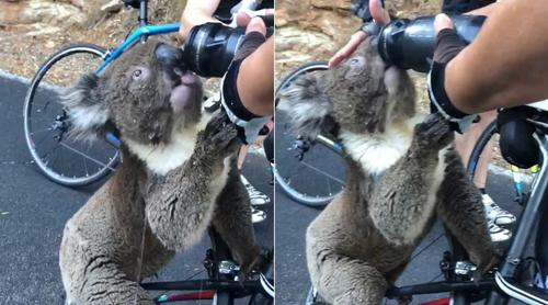 Thirsty koala desperately flags down cyclist for help - video