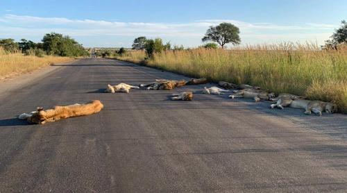 Lions nap on road during South African lockdown